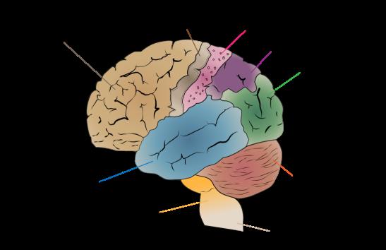1092px-cerebrum_lobes-svg